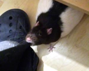 Ratte Kommando
