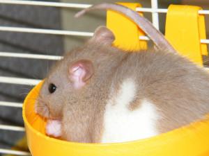 Ratte frisst