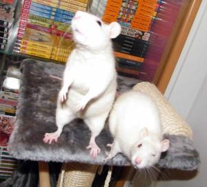 Ratten Kratzbaum