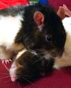 Ratten Vergesellschaftung