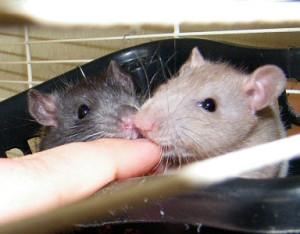Ratten zähmen