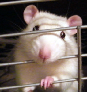 Rattenkäfig Gitter