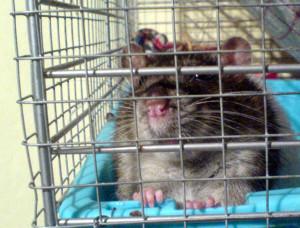 Rattenkäfig Volierendraht